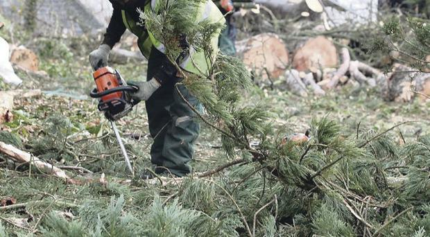 Workmen start chopping down the giant redwood and clearing the area