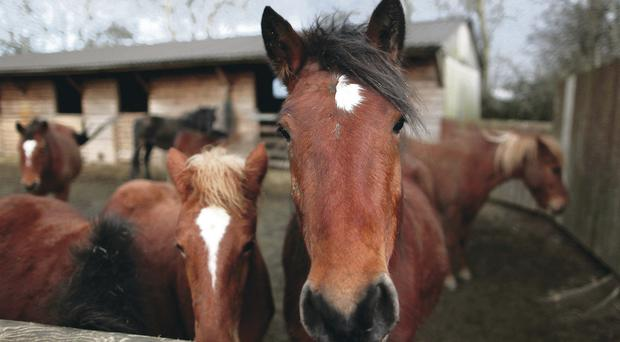 Around 35 horses at Crosskennan Animal Sanctuary will be put down if they can't be re-homed