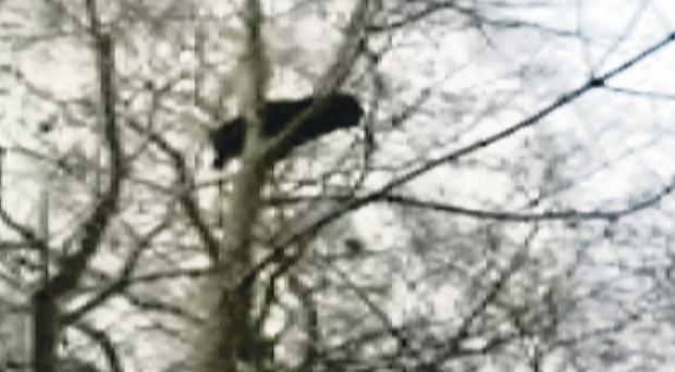 The cat stuck in a tree which was forced down and then slaughtered by the dogs
