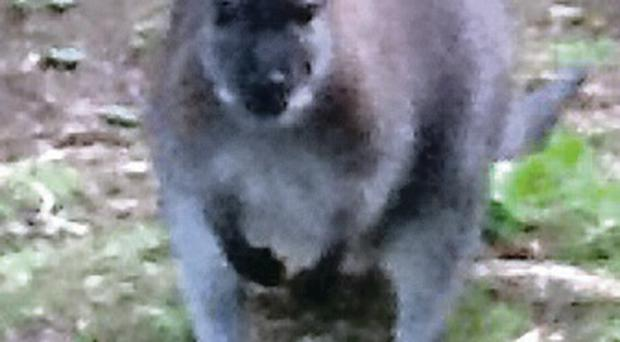 Escaped: one of the wallabies