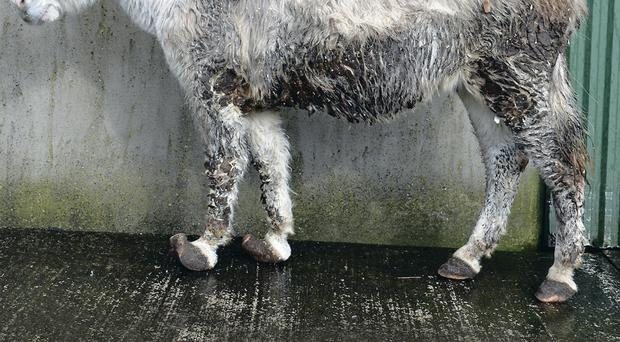 Millie's hooves were badly overgrown and her coat matted with faeces and dirt