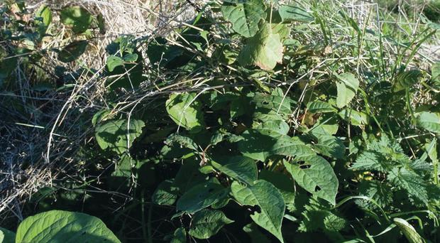 Invasive pest: Japanese knotweed on the A8 road in Co Antrim