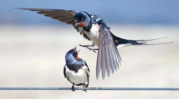 Photo of swallows facing off on a wire by Laurie Campbell from Magherafelt