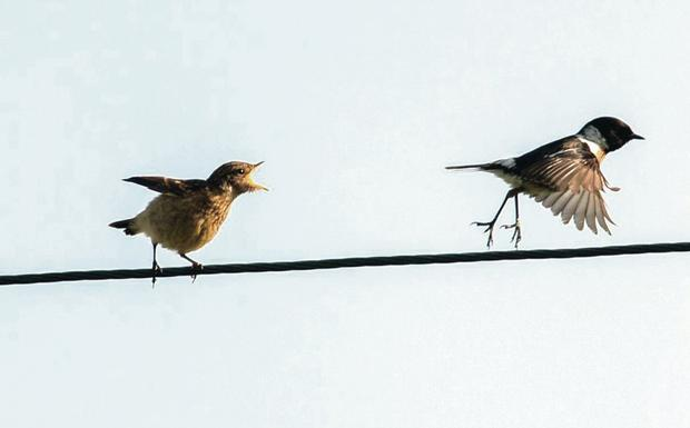 Stephen Maxwell's photo of stonechats