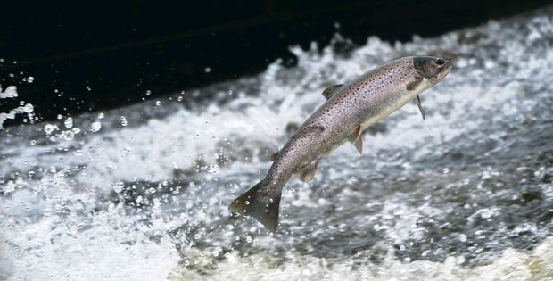 A salmon makes its way upstream from the sea