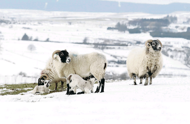 Sheep in snow-covered Glens of Antrim last Easter