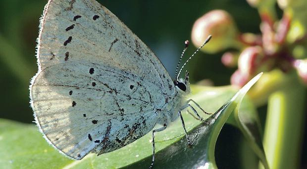 The holly blue butterfly has now been recorded in every county in Northern Ireland