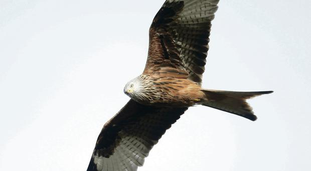 A red kite in full flight