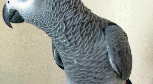 Harry, one of the three rare parrots stolen during a break-in at Seaforde, Co Down