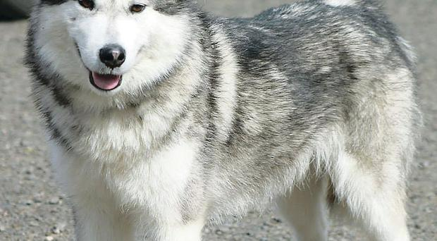 One of the Malamutes that was recovered