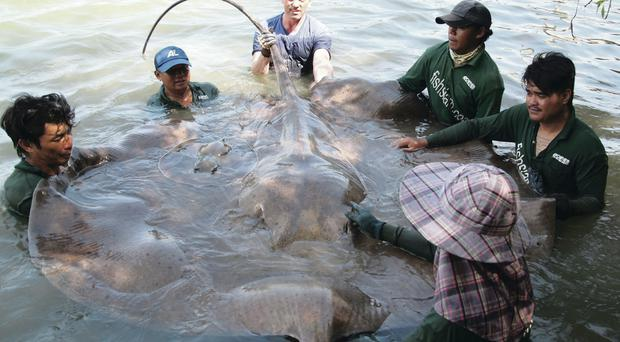 Thomas White with the stingray he landed on a Thai river
