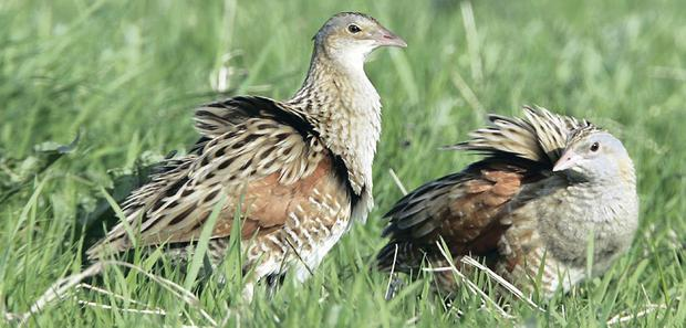 A helicopter has scared off Rathlin's first Corncrake in 15 years