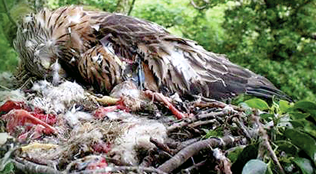 The female red kite and her two chicks were found dead in a nest near Katesbridge in Co Down. The RSPB strongly suspects poison was the cause of their deaths