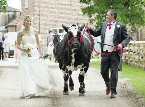 Katrina and Steven on their wedding day with Gorgeous the prize heifer