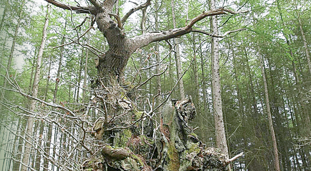 Belvoir Forest oak is one of oldest in Ireland