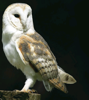 Only 30 breeding pairs of barn owls are thought to remain