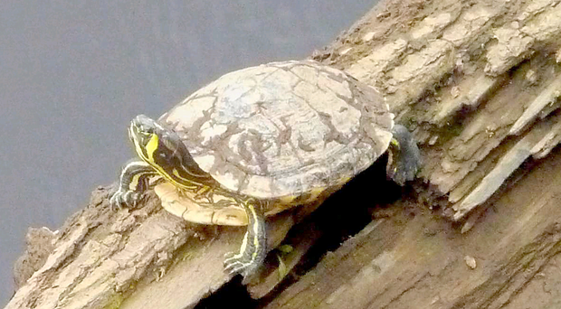 One of the terrapins on a log in the Mourne River