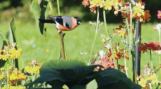 A bullfinch is a welcome visitor to the garden of John and Noeni Bryars