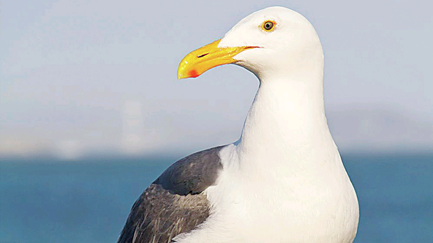 Herring gulls can be intimidating because of their sheer size and boldness, with males weighing up to 3.5 pounds