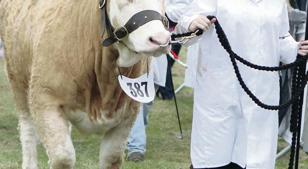A girl leads her animal into the ring at Castlewellan Show