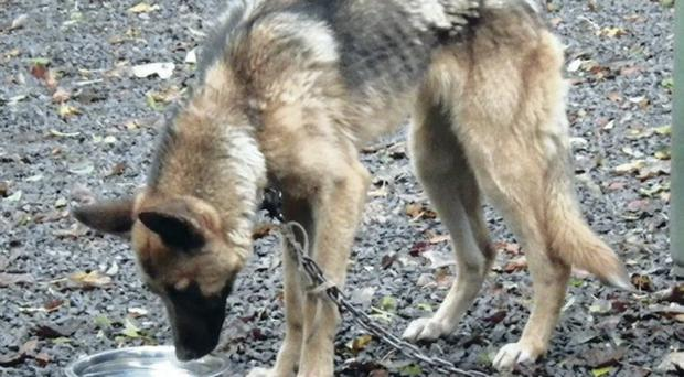 The chained German shepherd with ribs showing when she was found