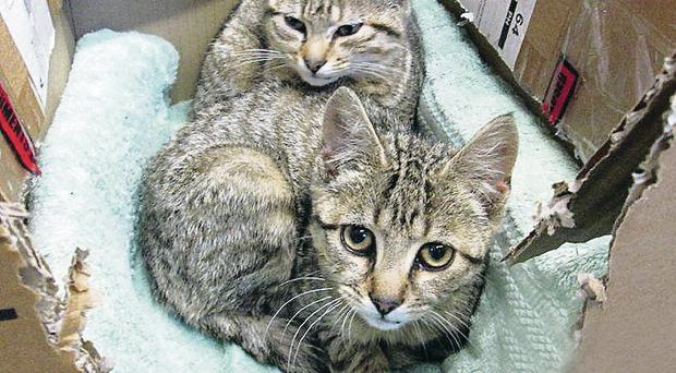 The two kittens recovering yesterday after they were rescued from a sewage system - now they want a new home
