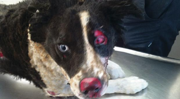 Pet dog Cody after the attack