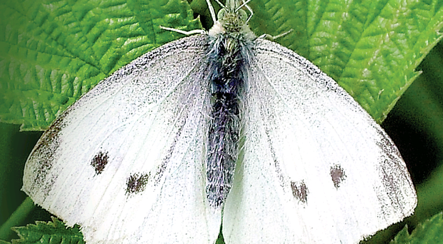 The small white