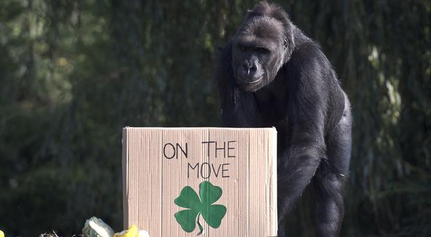 Namoki approaches a box of goodies during her goodbye party as she prepares to leave Bristol Zoo for Belfast Zoo