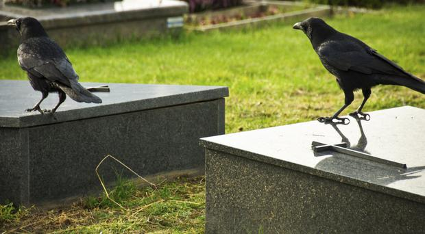 Caught on camera, crows are responsible for grave robbing in Ballee Cemetery