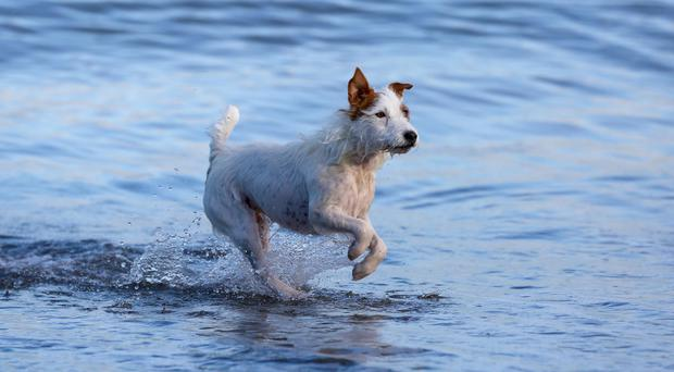 Mika the dog takes a paddle in the sea yesterday