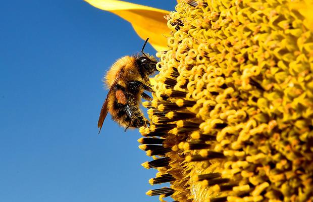 Bees are falling foul of parasite