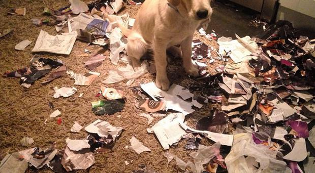 Sara O'Neill's golden retriever puppy after his paper rampage