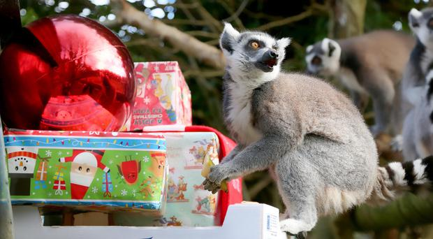 A lemur spots the Christmas parcel delivery at Belfast Zoo