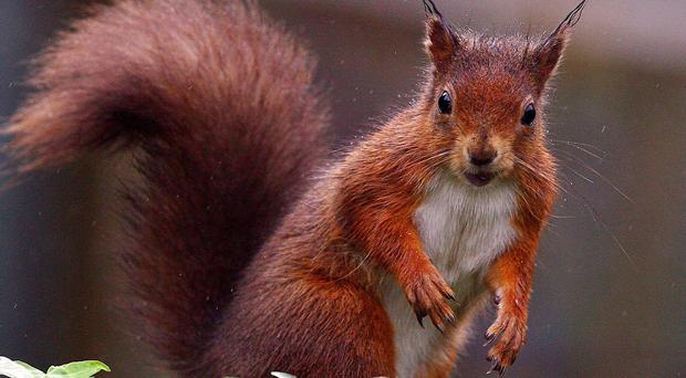 A study to monitor the red squirrel and pine martin populations across Northern Ireland will also benefit from funding