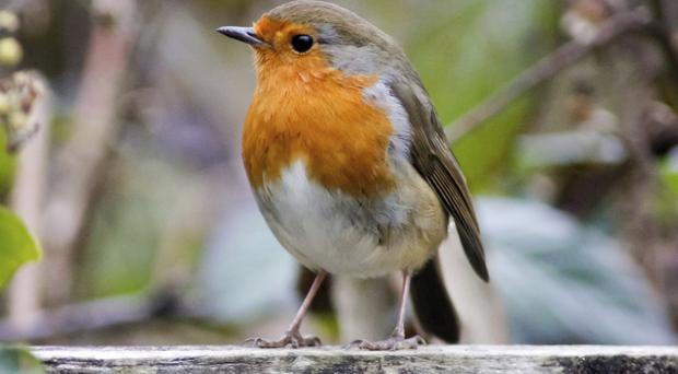Lesser spotted: The robin