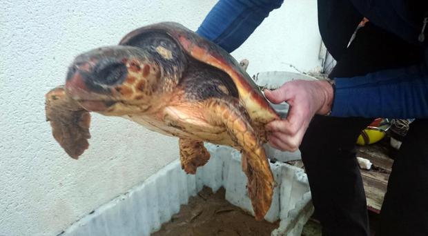 The turtle rescued in Donegal is on its way to Exploris for rehabilitation