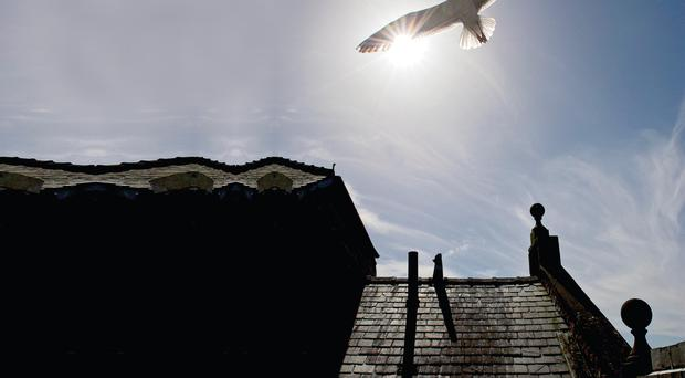 High fliers: herring gulls on the lookout for food and prey around the city