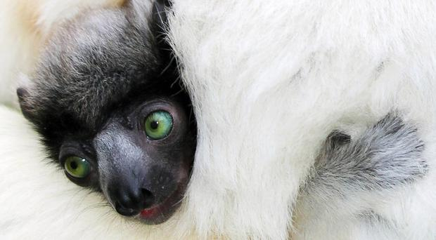 A baby crowned sifaka has been born to mother Linoa and father Tilavo at Belfast Zoo (Belfast Zoo/PA)