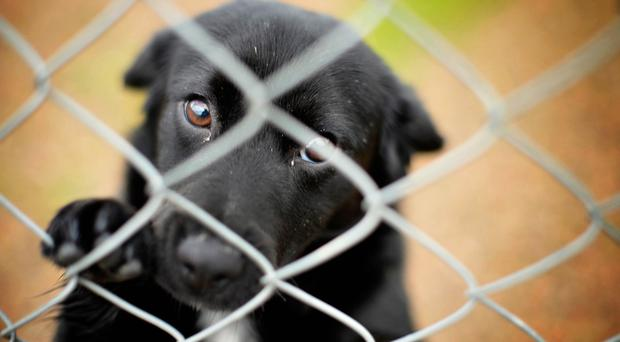 Eight-month-old Labrador terrier cross Rosie at Benvardin Animal Rescue Kennels
