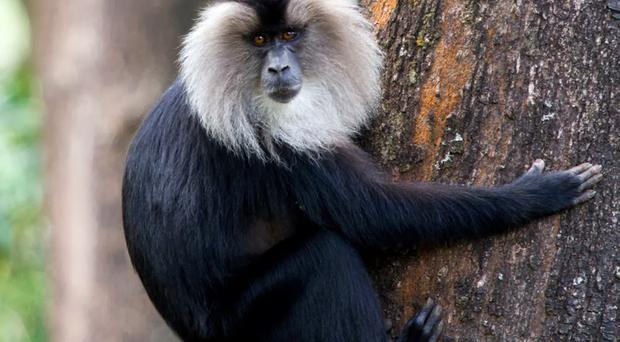 A lion-tailed macaque similar to the two missing from Belfast Zoo