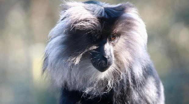 One of the two lion-tailed macaques that escaped from Belfast Zoo (Belfast Zoo/PA)