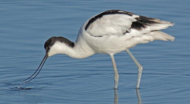 The avocet feeding at Islandmagee