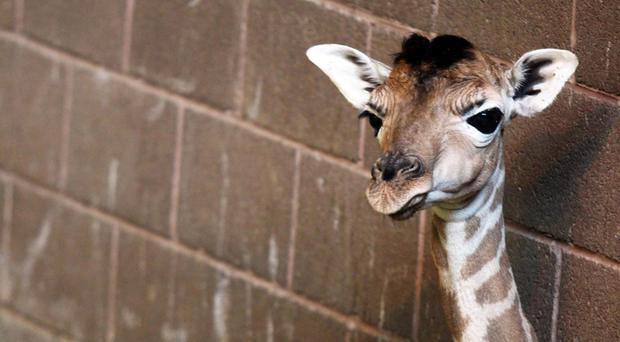 A Rothschild's giraffe calf born at Belfast Zoo has died of a infection contracted at birth (Belfast Zoo/PA)