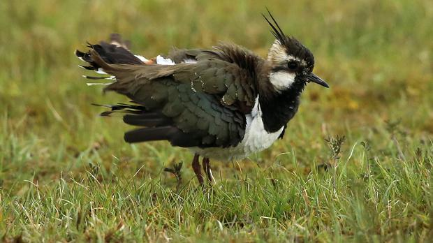 Lapwings have found a sanctuary within Maghaberry prison