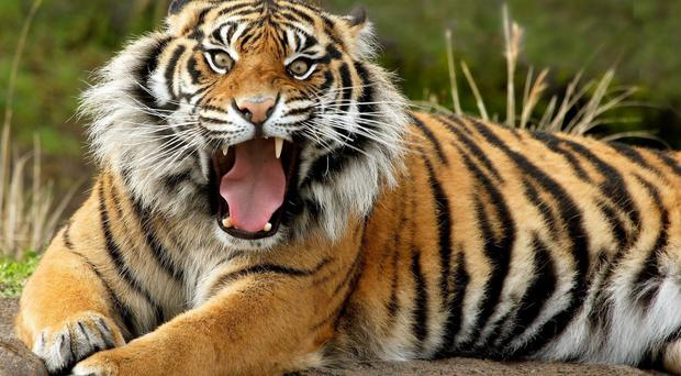 The NISNTAC spokesman also said it was concerned over another travelling circus allegedly having five Siberian tigers - an endangered species - as part of its shows in a rural part of Northern Ireland