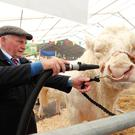 Albert Connolly from Ballynahinch prepares his beast before entering the show ring at Balmoral