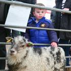 Shay McArdle (3) pets a sheep in the children's farm