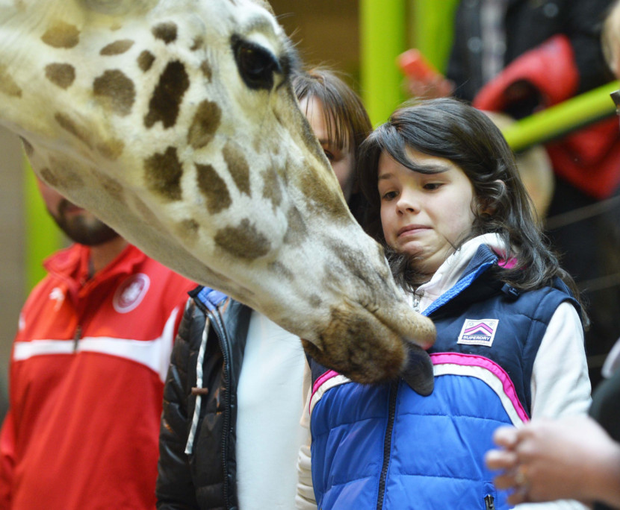 A giraffe gets too close for comfort for one child at Belfast Zoo