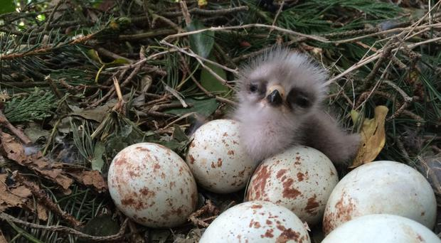 A newly-hatched chick is filmed on the buzzard cam alongside eggs in the nest in Mount Stewart